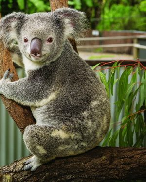 Koala in Kuranda Tropical North Queensland